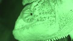 Chameleon's head video night vision, Chameleon Yemen Stock Footage