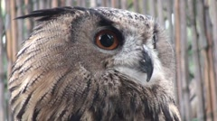 Owl, owl moving head left and right video, close up Stock Footage