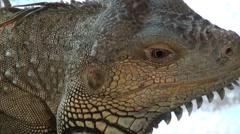 Iguana video, iguana's head video Stock Footage