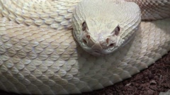 Snake head with tonque video, reptile video, Rattlesnake close up Arkistovideo