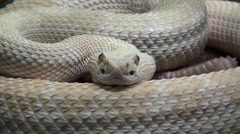 Snake video, reptile video, Rattlesnake close up Stock Footage