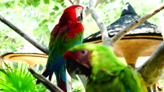 Multicolored macaw parrot cleaning feathers. Stock Footage