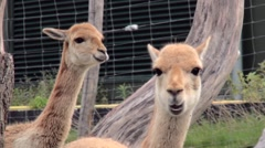 Ruminating Llamas Stock Footage