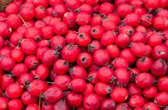 Fruits of Hawthorn ordinary (lat. Crataegus laevigata), background Stock Photos