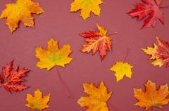 Autumn colorful fallen maple leaves on claret background Stock Photos