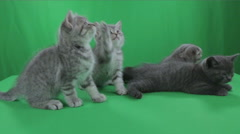Beautiful little kittens Scottish Fold on Green Screen Stock Footage