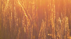 Meadow grass in backlight Stock Footage