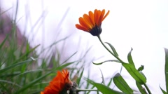 Orange flower on the background of white sky bottom view of grass Stock Footage