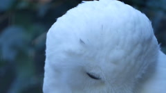 4k Snowy Owl portrait moving head very close up Stock Footage