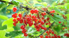 Bush of red currant with ripe berries in sunlight. Natural garden background Stock Footage