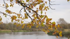 Oak grove on a riverbank, fall of the leaves Stock Footage
