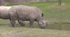 White Rhinoceros pair, side by side, drink water - side view Stock Footage