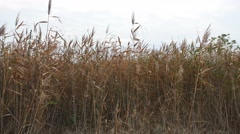 Dry grass sways marsh in the wind on a gray sky background nature Stock Footage