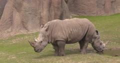 Rhinoceros pair look like two headed or bicephalous Stock Footage
