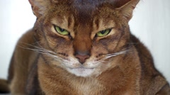 Abyssinian is breed of domestic short-haired cat Stock Footage