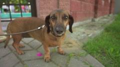 Dachshund is short-legged, long-bodied dog Stock Footage