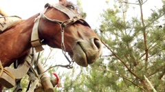 Bay horse, harnessed to a wooden cart Stock Footage