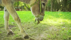 Donkey or ass (Equus africanus asinus) Stock Footage