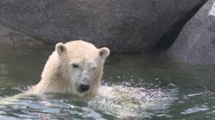 Polar bear (Ursus maritimus) swims along rocky coast Stock Footage