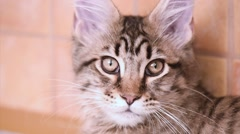 Maine coon cat looking Stock Footage