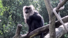Lion-tailed Macaque (Macaca silenus) Stock Footage