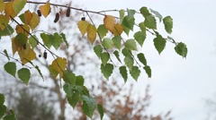 Birch with yellow leaves hanging on a branch on a gray autumn sky nature Stock Footage