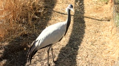 Demoiselle Crane walking on the grass on a sunny day Stock Footage