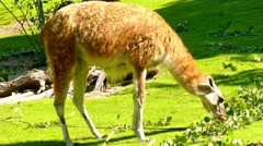 Guanaco (Lama guanicoe) Stock Footage