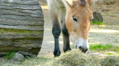 Przewalski's horse or Dzungarian horse Stock Footage