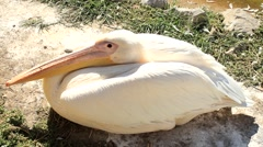 Great white pelican lying in the sun Stock Footage