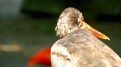 Black stork (Ciconia nigra) Stock Footage