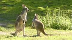 Red kangaroo (Osphranter rufus) Stock Footage