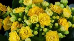 Yellow kalanchoe flower growing4k time-lapse. Stock Footage