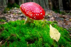 Fly agaric mushroom in forest Stock Photos