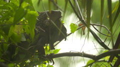 Close up of a green big iguana reptile on the tree Stock Footage