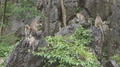 Balinese Macaque Monkey Male and Female playing, eating, jumping, scratching Stock Footage