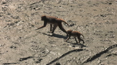 Monkeys on mud in the mangroves Stock Footage