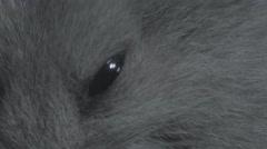 Macro hamster eye and pan to fur Stock Footage