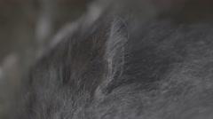 Macro shot of a grey dwarf hamster ear Stock Footage