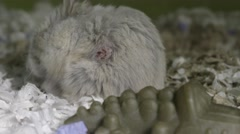 Hamster with growth, tumour on side. Stock Footage