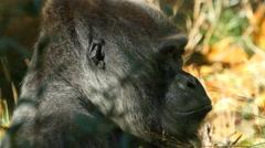 Gorilla, Ape Stock Footage