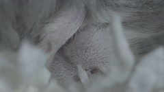 Macro shot of a hamster's nose, mouth and paw as it sleeps. Stock Footage