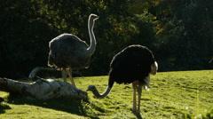 Ostrich, Bird, African Stock Footage