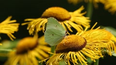 Butterfly Common brimstone (Gonepteryx rhamni) sits on a elecampane flower Stock Footage