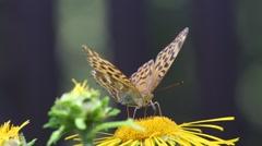 Butterfly Dark Green Fritillary (Argynnis aglaja) Stock Footage