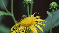 Fly eristalis collects nectar on a flower inula Stock Footage
