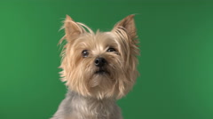 Cute Silky Terrier Dog Pet on Green Screen / Chroma Key Arkistovideo