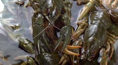 Alive crayfishes Stock Footage