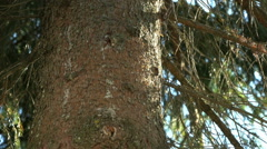 Thick trunk of the pine tree in the park Stock Footage