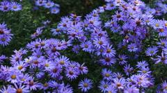 Autumn garden flowers Stock Footage